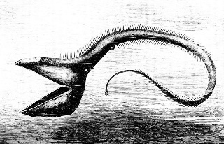 800px-PSM_V23_D086_The_deep_sea_fish_eurypharynx_pelecanoides.jpg
