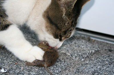 s_800px-Cat_eating_mouse.jpg