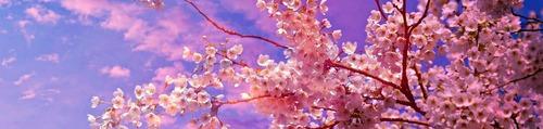 daigo-sakura