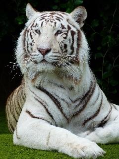 タイガー虎